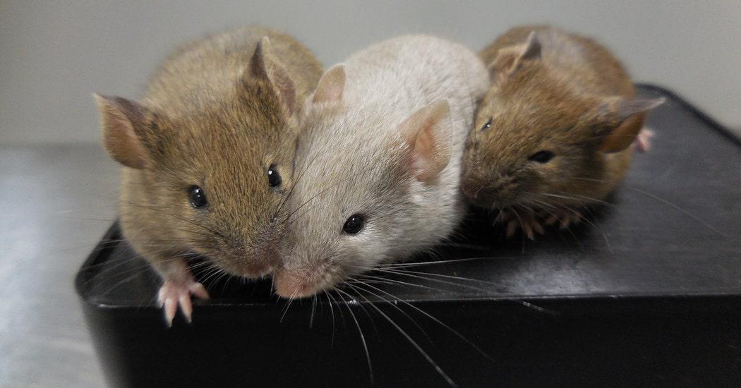 Cell - Rat